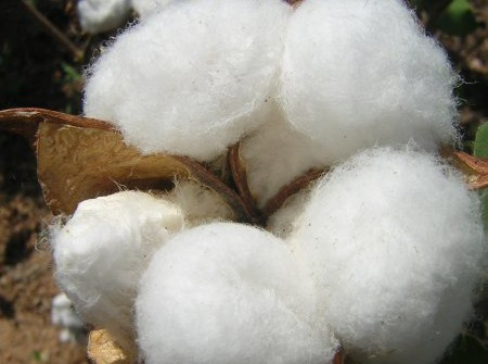 Transgenic Cotton Production Approved