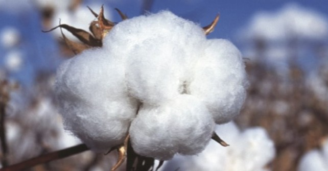 Rise Expected in Cotton Boll Production